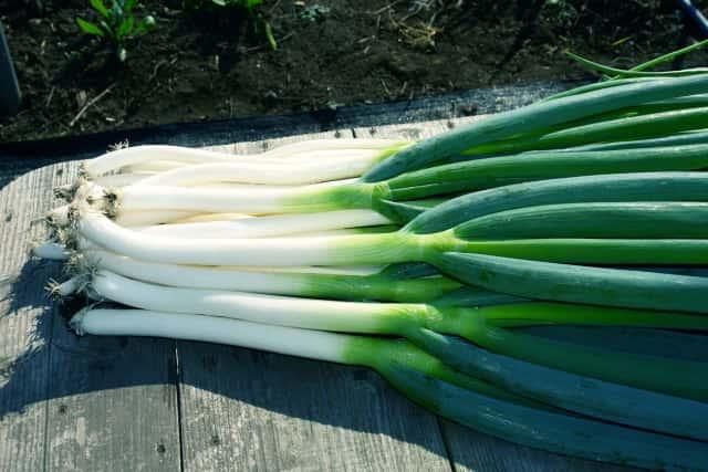 収穫された白ネギ