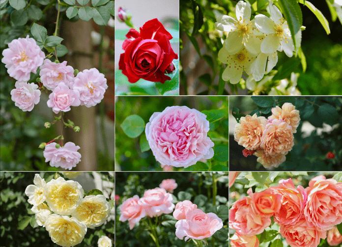 いろいろなバラ