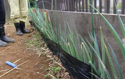 板と黒マルチを使ったネギの軟白部育成の様子