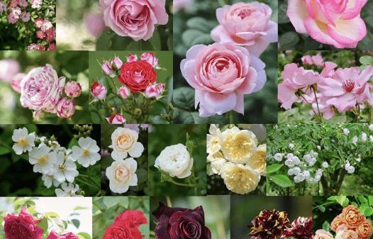 さまざまな色のバラ