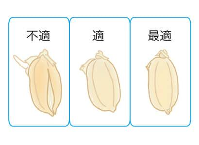 稲の催芽、不適、適、最適のサイズ