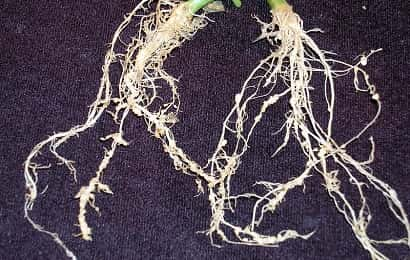 ネコブセンチュウに寄生されたキュウリの根