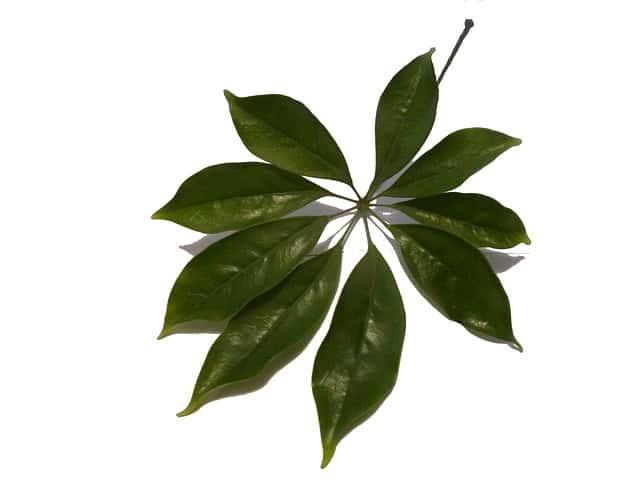 シェフレラの葉