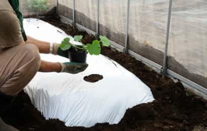 ズッキーニの苗植え