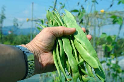 収穫したビックリジャンボ