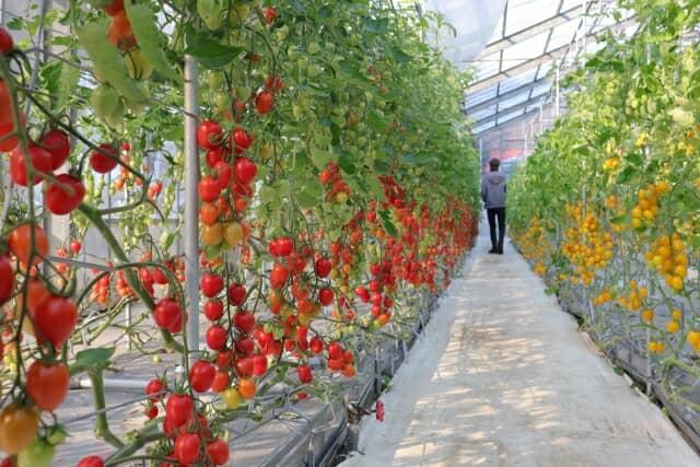 ハウス内でトマトがたくさんなっている様子