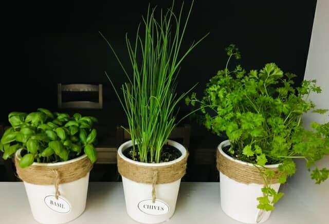 パセリなどハーブの室内栽培