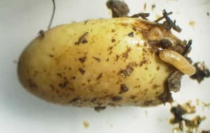 タマバエに食害されたエダマメの子実