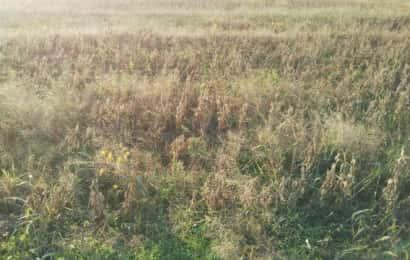 圃場に広がる雑草