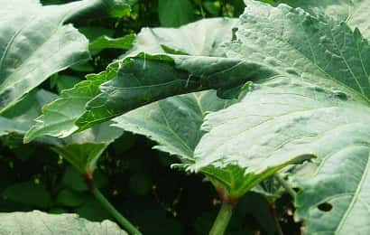 ワタノメイガの被害を受けたオクラの葉