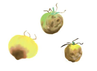 疫病におかされたトマト・ミニトマトの果実