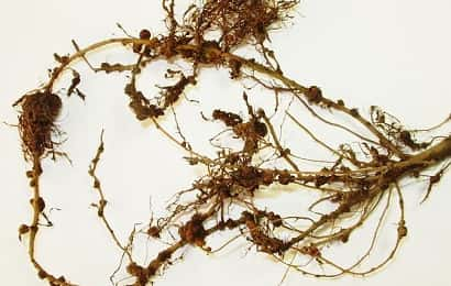 ネコブセンチュウに寄生されたエダマメの根