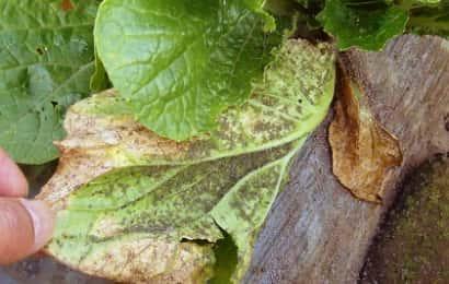 ニセダイコナブラムシの吸汁を受けた白菜の葉