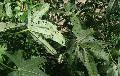 ハスモンヨトウに加害されたオクラの葉