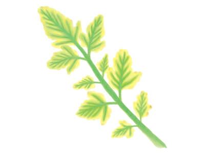 黄化葉巻病におかされたトマト・ミニトマトの葉