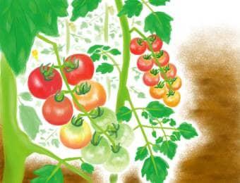 トマト・ミニトマトの栽培風景