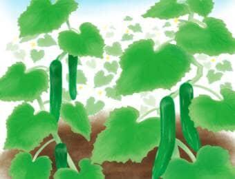 キュウリ栽培風景