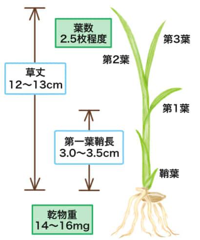 田植えに適した稲の苗