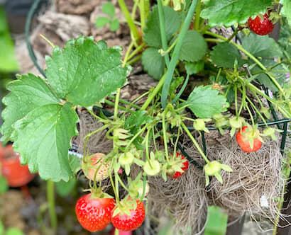 家庭菜園で栽培している真っ赤に完熟したイチゴ