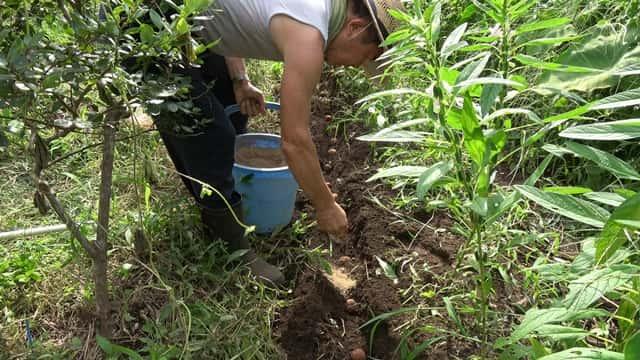 福田先生8月の菜園作業