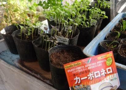 カーボロネロをポットに種まきする