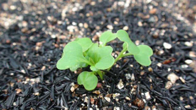 ハダイコンの芽