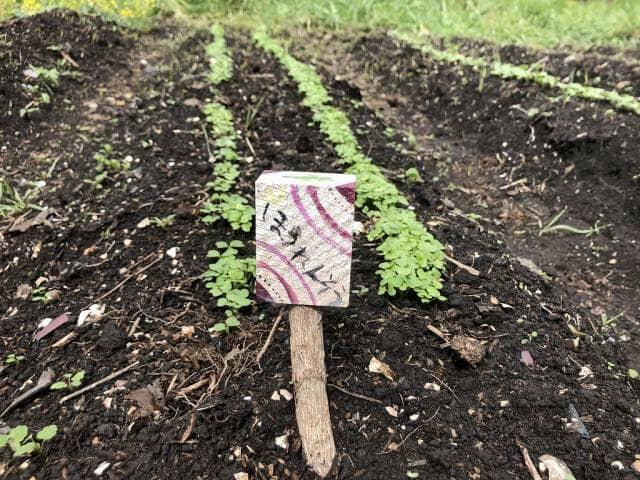 菜園でホウレンソウを育てる