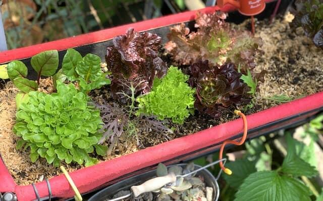 レタスなどベジトラグで育てる家庭菜園