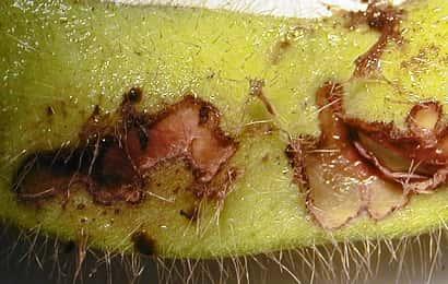 ダイズサヤムシガに加害されたエダマメの子実