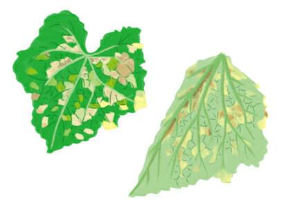 ベト病におかされたキュウリの茎葉