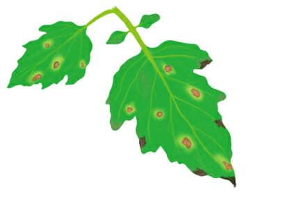 斑点細菌病におかされたトマト・ミニトマトの葉