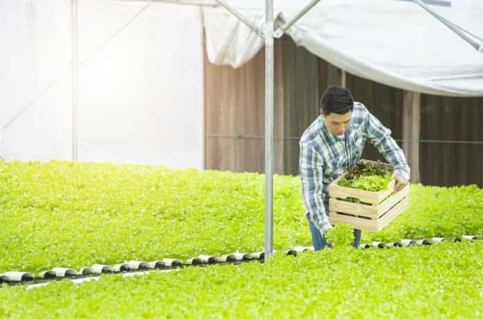 レタスを収穫する男性
