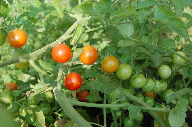 茎葉が茂ったミニトマト