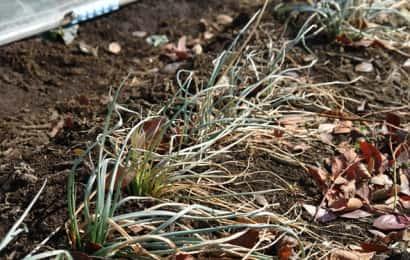 収穫時期になって枯れ始めたラッキョウの葉
