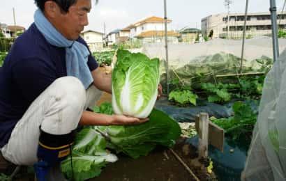 ハクサイを収穫する福田先生