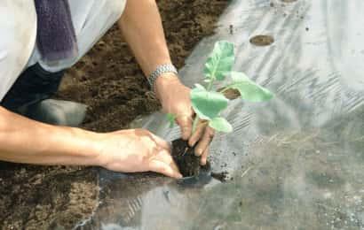 ブロッコリーの定植