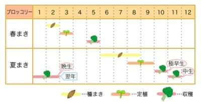 家庭菜園カレンダー ブロッコリー