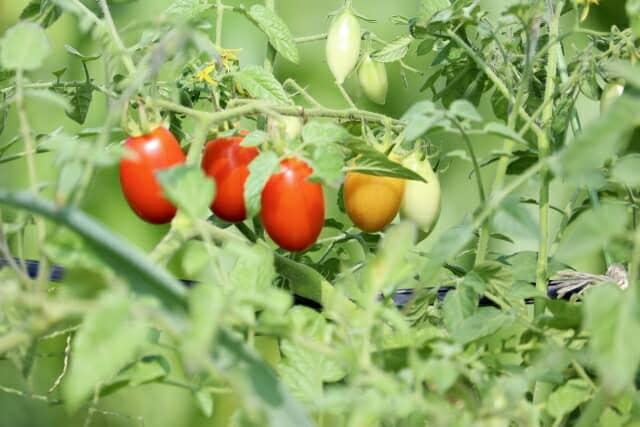 摘芯間近のミニトマト