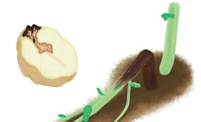 黒脚病におかされたジャガイモの茎葉