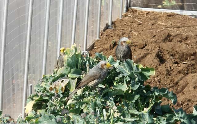 ブロッコリーを食害するヒヨドリ