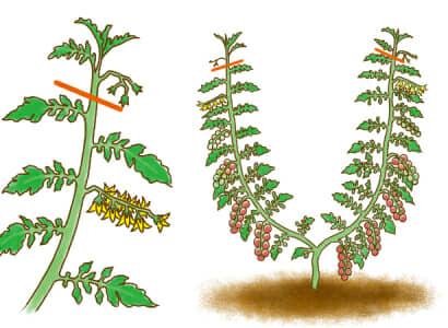 ミニトマトの摘芯