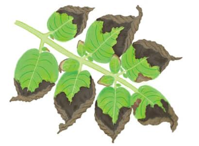 疫病におかされたジャガイモの葉茎