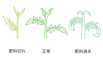 若葉の生育から判断するトマト・ミニトマトの肥料のタイミング