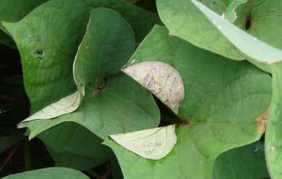 イモキバガ(イモコガ)の被害を受けたサツマイモ葉