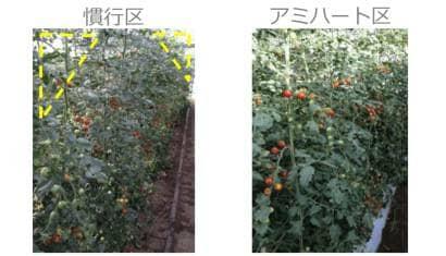 トマトの生育差