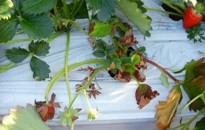 チビクロバネキノコバエの被害を受けたイチゴ