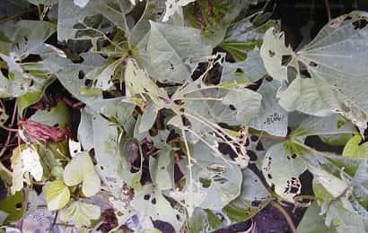 ナカジロシタバに加害されたサツマイモ葉