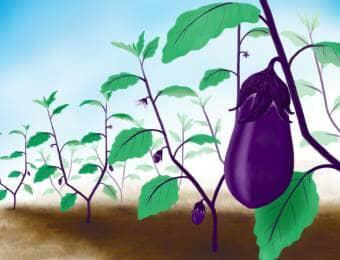ナスを畑で栽培している様子