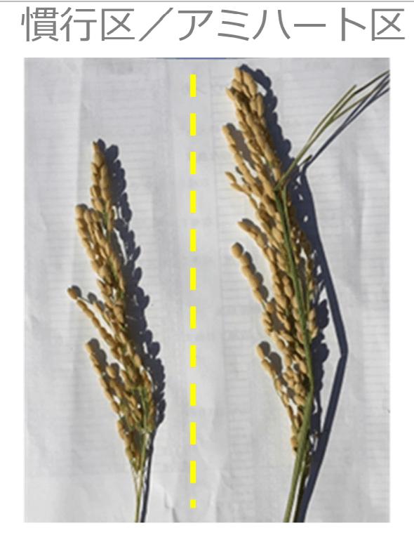 水稲の粒数差