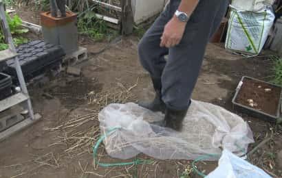 ザーサイの種が入ったネットを足で踏む